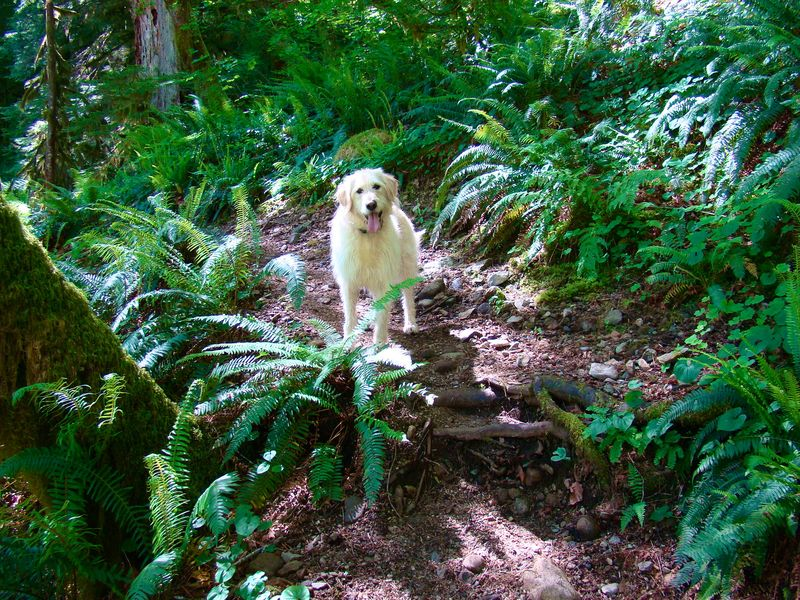 Dog hiking in woods